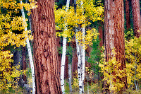 Fall colored aspens and Ponderosa Pine trunks at Black Butte Ranch. Oregon