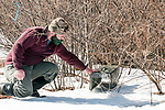 New Hampshire Fish and Game Biological Technician, Brett Ferry places rabbit trap under classic New England cottontail rabbit new forest habitat inside the Great Bay National Wildlife Refuge.