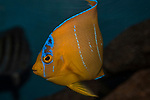 Queen Angelfish juvenile swimming 45 degrees to camera