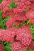 Yarrow Red Velvet flowers