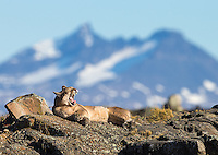 A female puma rests in the late afternoon sun.
