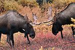 Two bull moose spar during the fall rut in Alaska.