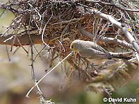 0703-1106  Verdin Building its Nest (Titmouse, Penduline Tit), Bag Nest (Hanging Nest or Dome Nest), Auriparus flaviceps  © David Kuhn/Dwight Kuhn Photography