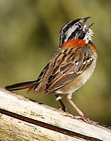 Sparrows and Saltators