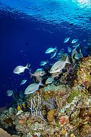 Bermuda chub, Kyphosus sectatrix, Bloody Bay Wall, Little Cayman, Cayman Islands, Caribbean Sea, Atlantic Ocean