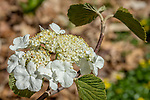 Hobblebush at the Arnold Arboretum in the Jamaica Plain neighborhood, Boston, Massachusetts, USA