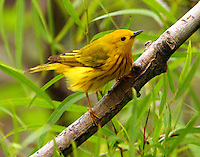 Adult male yellow warbler at Paradise Pond in April