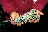 Tokaj, Hungary. man holding bunch of wine grapes.