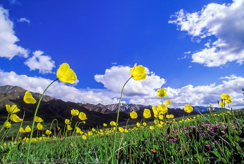 Summer Alaska poppy wildflowers in bloom in Highway Pass in Denali National Park, Alaska. Alaska poppies