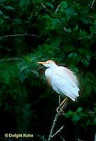 HN04-001z  Cattle Egret - Bubulcus ibis
