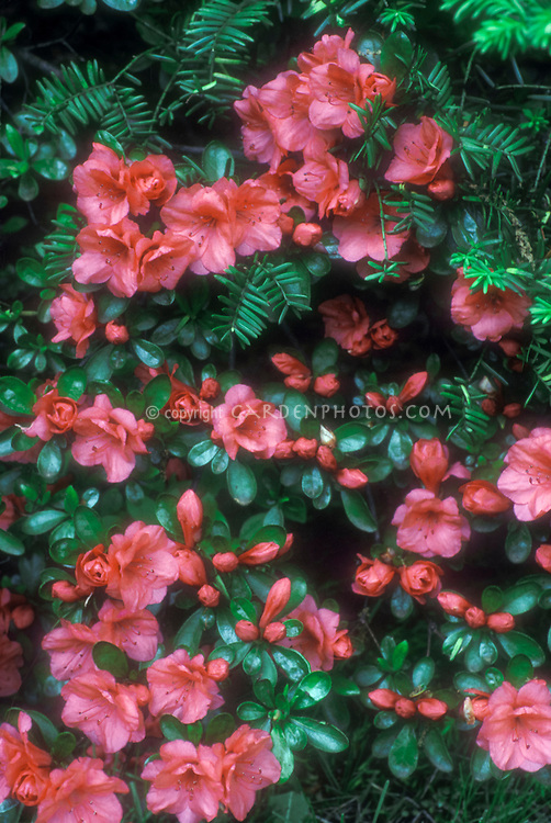 Rhododendron Azalea Kurame similar to or possibly 'Orange Cup' in flower