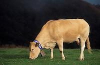 Europe/France/Aquitaine/64/Pyrénées-Atlantiques/Plateau d'Iraty: Vache d'Aquitaine en estive