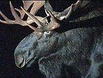 Northern moose bull at night during mating season in early October, Maine.  Frame grab from video