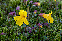 Tiling's monkeyflower or yellow monkeyflower (Mimulus tilingii).  Pacific Northwest.  Summer.