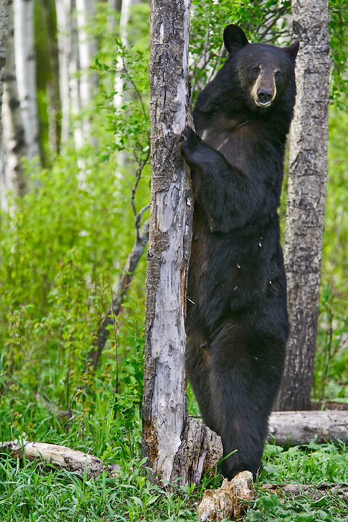 Black Bear standing against a tree