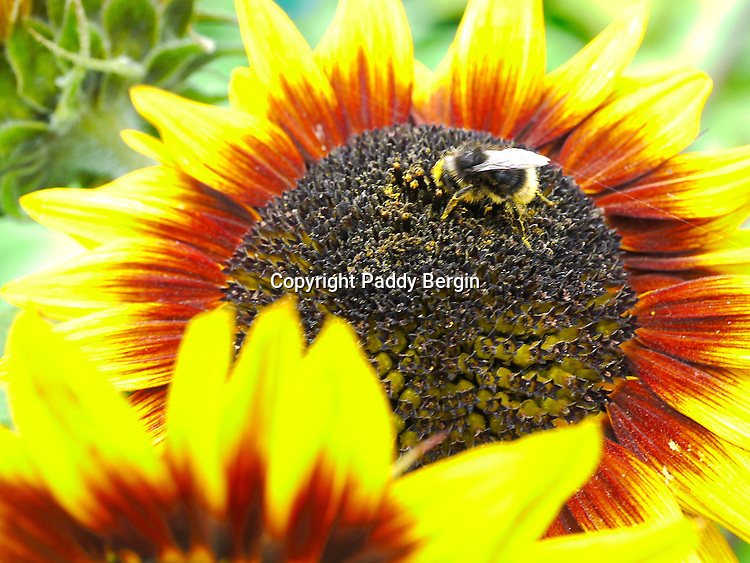 """Helianthus or sunflowers (from the Greek: Hēlios, """"sun"""") and other species, notably Jerusalem artichoke (H. tuberosus), are cultivated in temperate regions as food crops and ornamental plants.<br /> <br /> Sunflowers are usually tall annuals, that grow to a height of 50–390 centimetres (20–154 in). This variety is known as """"Ring of Fire"""".<br /> <br /> Stock Photo by Paddy Bergin"""