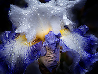 Close up of Blue Parfait Iris with rain drops. Schrieners Iris Gardens. Oregon