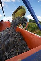 Europe/France/Aquitaine/33/Gironde/ Sainte-Colombe: Vendanges manuelles   chez Phillipe Carille ,viticulteur Cotes de Castillon AOC-, Poupille et Chateau Poupille- Vendanges du cépage Merlot