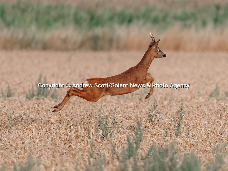 """A deer takes an early morning leap through a field of wheat in Boultham Mere, Lincoln.  The roe deer was in a field off a track used by dog walkers. <br /> <br /> Andrew Scott, 45, from North Hykeham, Lincolnshire, who spotted the buck said, """"I saw the deer and managed to get a little closer, it eventually noticed me and then ran to the left before bolting to the right. I'd been watching it for around 10 mins before it eventually spotted me.""""<br /> <br /> """"It took me by complete surprise when it leap at full height, I wasn't expecting that at all!""""<br /> <br /> Please byline: Andrew Scott/Solent News<br /> <br /> © Andrew Scott/Solent News & Photo Agency<br /> UK +44 (0) 2380 458800"""