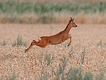 Leaping deer by Andrew Scott