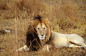 Maasai Mara Game Reserve, Kenya. Male lion (Panthera leo) with mane lying down.