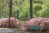 Path through flowering azalea shrubs under spring trees in morning light at Norfolk Botanical Garden