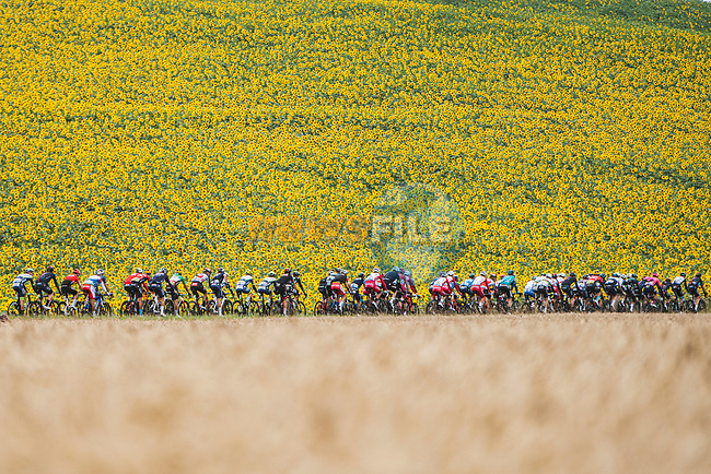 The peloton passes by sunflower fields during Stage 17 of the 2021 Tour de France, running 178.4km from Muret to Saint-Lary-Soulan Col du Portet, France. 14th July 2021.<br /> Picture: A.S.O./Charly Lopez   Cyclefile<br /> <br /> All photos usage must carry mandatory copyright credit (© Cyclefile   A.S.O./Charly Lopez)