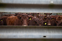 2-3-2021 Lincoln Red Cattle in a yard<br />  ©Tim Scrivener Photographer 07850 303986<br />      ....Covering Agriculture In The UK....