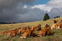 Europe/France/Rhône-Alpes/74/Haute-Savoie/Env d'Annecy/Massif du Semmoz: Vaches en paturage au chalet d'estive du Crêt de l'Aigle ou  René Dussolier produit de la Tome des Bauges