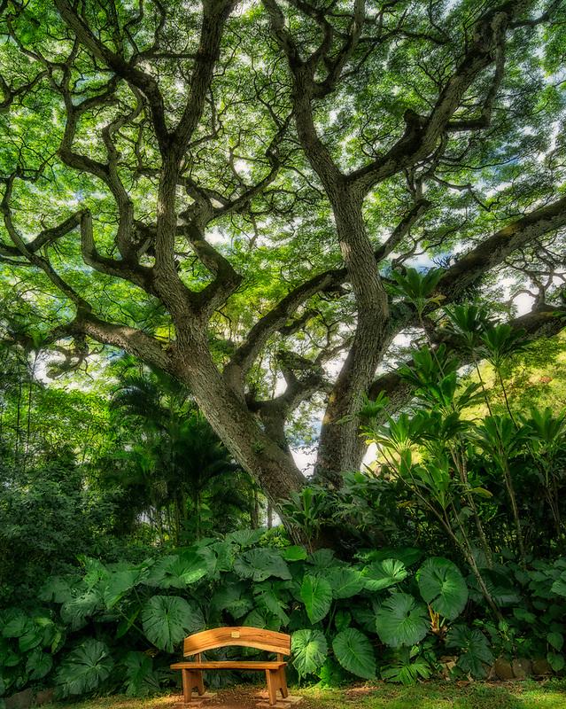 Monkey pod tree with bench. Hoomaluhia Botanical Gardens. Oahu, Hawaii
