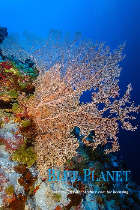 Fan coral, Subergorgia sp., Namu atoll, Marshall Islands, Micronesia, Pacific Ocean