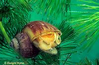 1Y04-046z  Water Snail - mystery snail - Campeloma spp.