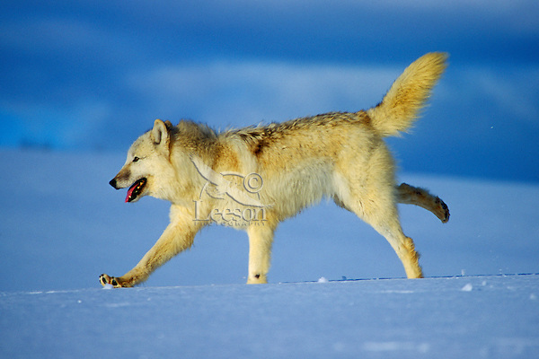 Arctic Gray Wolf running across snow covered terrain.