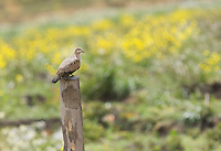 Black-winged ground dove, Metriopelia melanoptera, sits on a fence post at Antisana Ecological Reserve, Ecuador