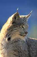 Lynx. Winter. North America. Felis lynx canadensis.