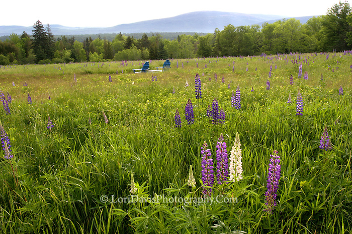 Adirondack Chairs in Field of Lupine  #L19