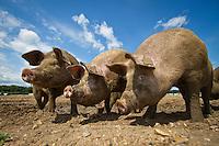 Free range pigs - July, Norfolk