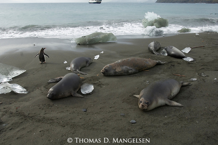 A gentoo penguin walks passed a group of elephant seals on the shores of Gold Harbour, South Georgia.