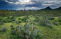 Cactus and stormy skies, Picacho Peak State Park, Arizona