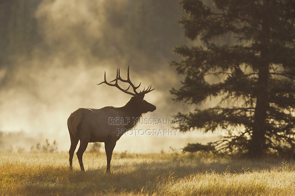 Elk, Wapiti (Cervus elaphus), bull in morning fog, Jasper National Park, Alberta, Canada