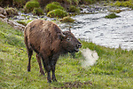Yellowstone National Park, WY: A juvenile American Bison (Bison bison)