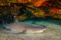whitetip shark, Triaenodon obesus, inside a shallow cave surrounded by Taylor's gobies, Trimma taylori, Kona, Big Island, Hawaii, USA, Pacific Ocean