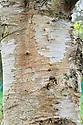 Close-up of bark on the trunk of a Szechuan or Sichuan White Birch (Betula szechuanica).