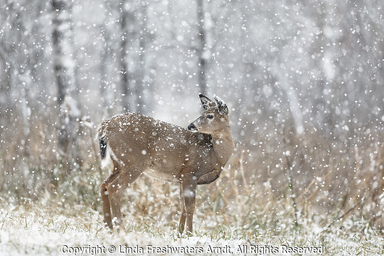 White-tailed fawn looking backward during a November snowstorm in northern Wisconsin.