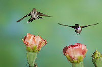 Black-chinned Hummingbird, Archilochus alexandri, male and female in flight feeding on Texas Prickly Pear Cactus (Opuntia lindheimeri), Uvalde County, Hill Country, Texas, USA, April 2006