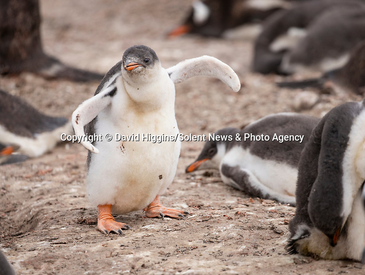 "DANCING LIKE HAPPY FEET - TWERKING PENGUIN!<br /> <br /> Young penguins dance together as they learn to use their limbs.   The chicks - six to seven week old - are building up muscles necessary to survive in the harsh colony.<br /> <br /> This island in the Falklands hosts around 4,000 breeding pairs of gentoo penguins, which are split into 13 sub-colonies.   These pictures were taken by amateur photographer David Higgins at Sea Lion Island and the 51 year old said: ""Sea Lion Island is one of the best wildlife locations I've ever visited.   SEE OUR COPY FOR DETAILS<br /> <br /> Please byline: David Higgins/Solent News<br /> <br /> © David Higgins/Solent News & Photo Agency<br /> UK +44 (0) 2380 458800"