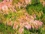 Japanese Laceleaf Maple in Fall. Private garden professionally landscaped.