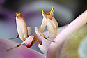 Malaysian Orchid Mantis {Hymenopus coronatus}  camouflaged on an orchid. Captive. Originating from Malaysia. website