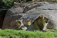 African Lion (Panthera leo) family.