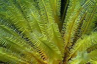 Brightly green colored Noble Feather Star (Comanthina nobilis), Dahofanu, Baa Atoll, Maldives.